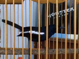 Burung Kacer : Sumatra (dan Suppseciesnya), Jawa dan, Madagaskar - Mengetahui Ciri-Ciri Burung Kacer