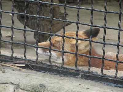 vulpe zoo Chișinău