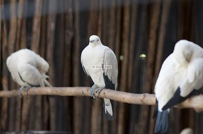 Ark Avilon Zoo - Pied Imperial Pigeon