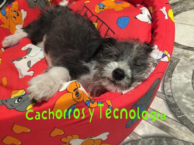 Gala salvar un perro envenenamiento Cachorros y tecnologia shurkonrad 2