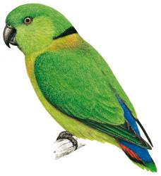 Black collared lovebird