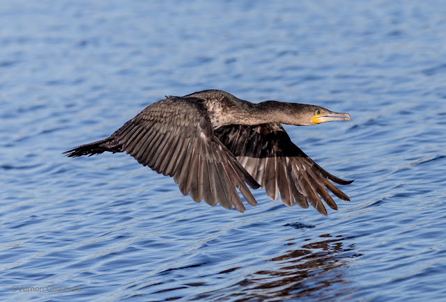 Double-Breasted Cormorant : Canon EOS 6D / 400mm Lens ISO 640 /f6.3 1/4000s - Woodbridge Island, Cape Town