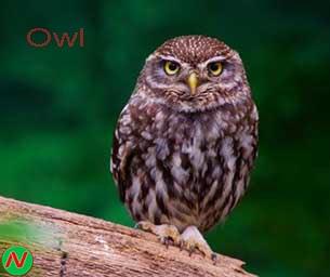 owl bird, পেঁচা