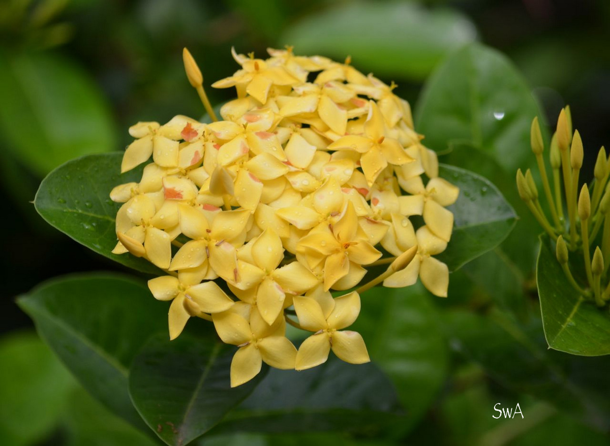 Ifyc50 Ixora Flower Yellow Clipart Today 1586564755 Download Here