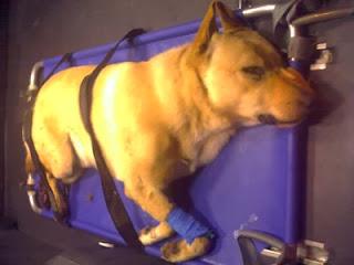 transporte de animais feridos