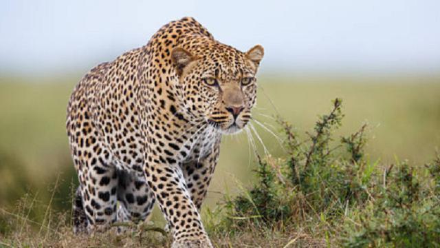 Tragis, Bocah 3 Tahun Dimangsa Macan Tutul Uganda