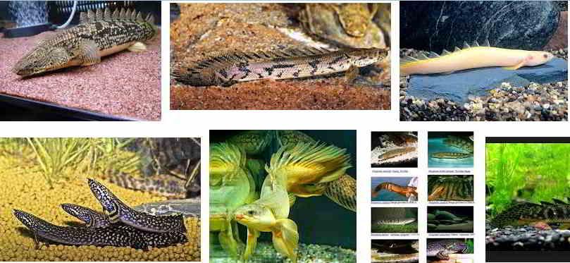 Jenis Ikan Palmas Berkualitas