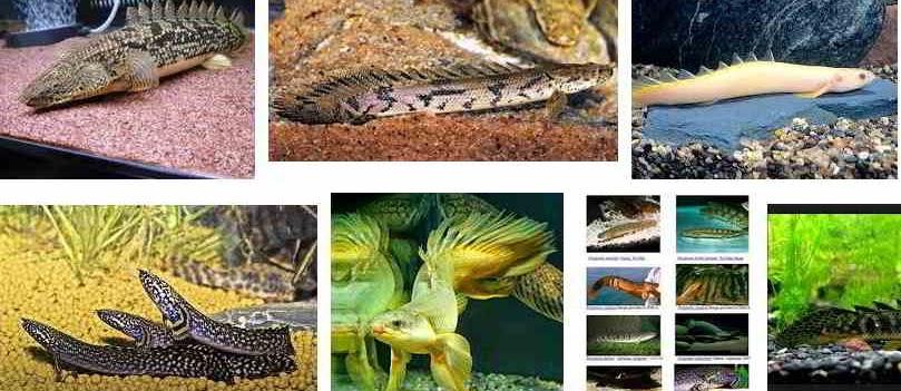 Jenis Ikan Palmas Berkualitas dan Gambarnya