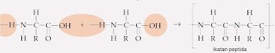 yaitu urutan berulang dari satu atom nitrogen dan dua atom karbon Struktur Protein Primer, Sekunder, Tersier, Kuartener, Kimia