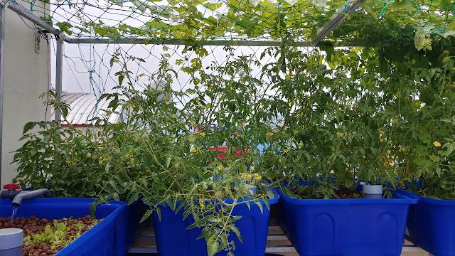 trồng rau sân thượng tiết kiệm nhất
