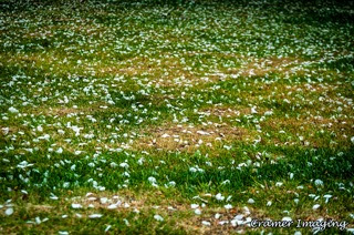 Cramer Imaging's professional quality nature photograph of white flower petals fallen on a green grass field in Pocatello, Bannock, Idaho