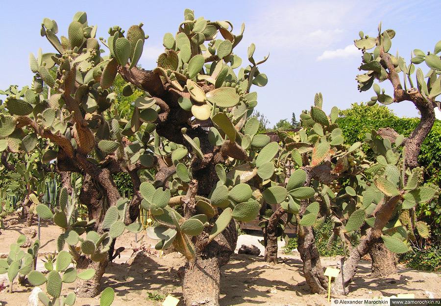 Кактусы. Батанический сад, Балчик, Болгария