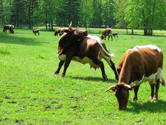 #HealthCare, #Food : Poland exported 5 500 pounds of meat, illegally slaughtered , from sick cows to EU countries !