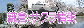 鎌倉桜情報