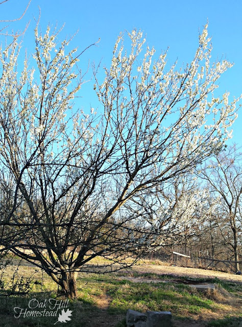 Dwarf plum tree with white blossoms