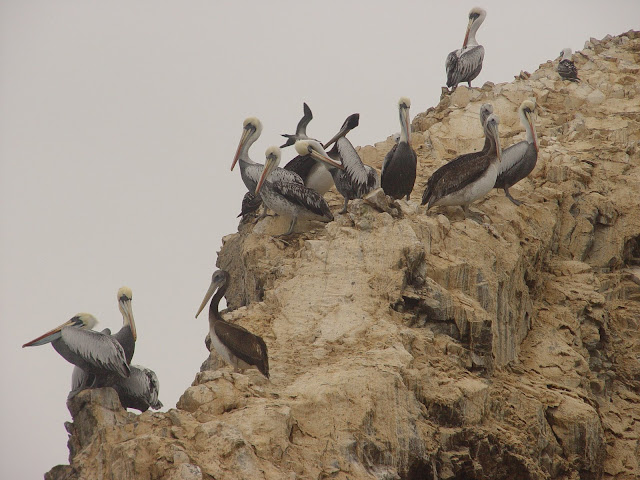 "Visitar as ILHAS BALESTRAS, ou como lhe chamam, as ""Galápagos dos Pobres""| Peru"