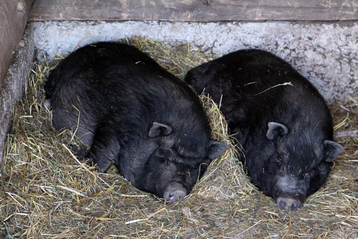 Schlafende Schweine