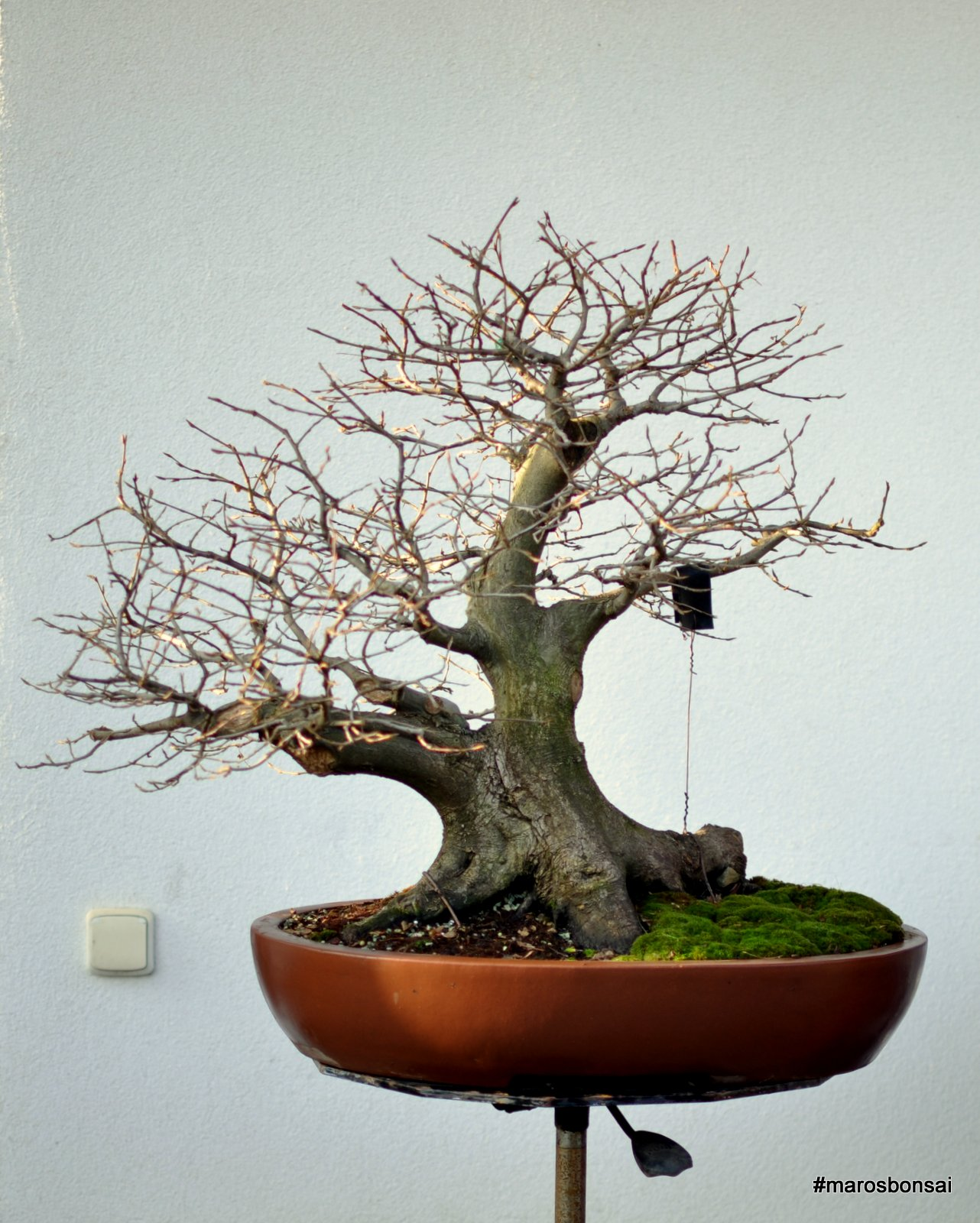 Maros Bonsai Blog Hornbeam No11 Ready For Wiring Styles It Is To Style Now Will Work On Today And Report With Full Story Of This Tree When Finished
