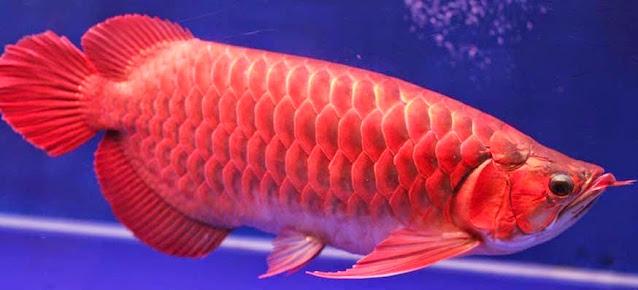 Gambar Ikan Arwana