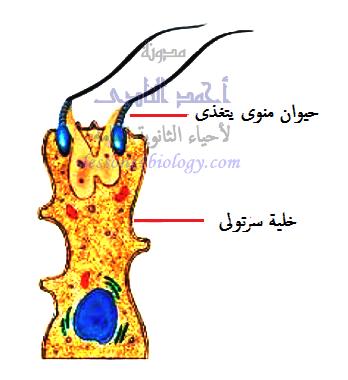 خلايا سرتولى - الأنابيب المنوية - الخصية - الجهاز التناسلى الذكرى