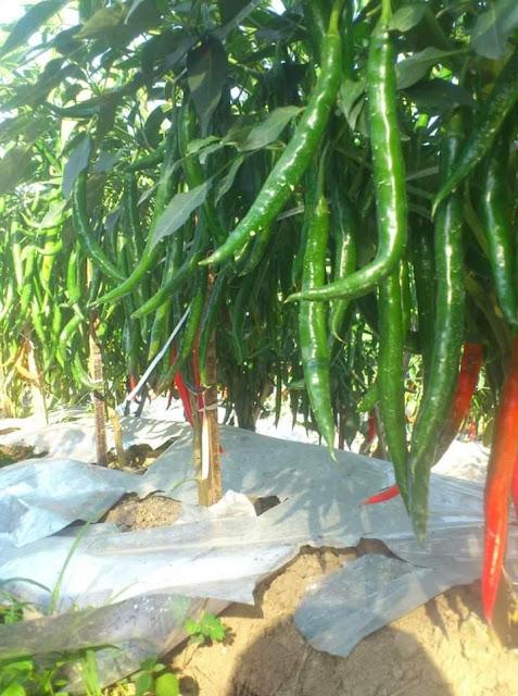 Tanaman cabe berbuah lebat dengan lahan tanam yang subur