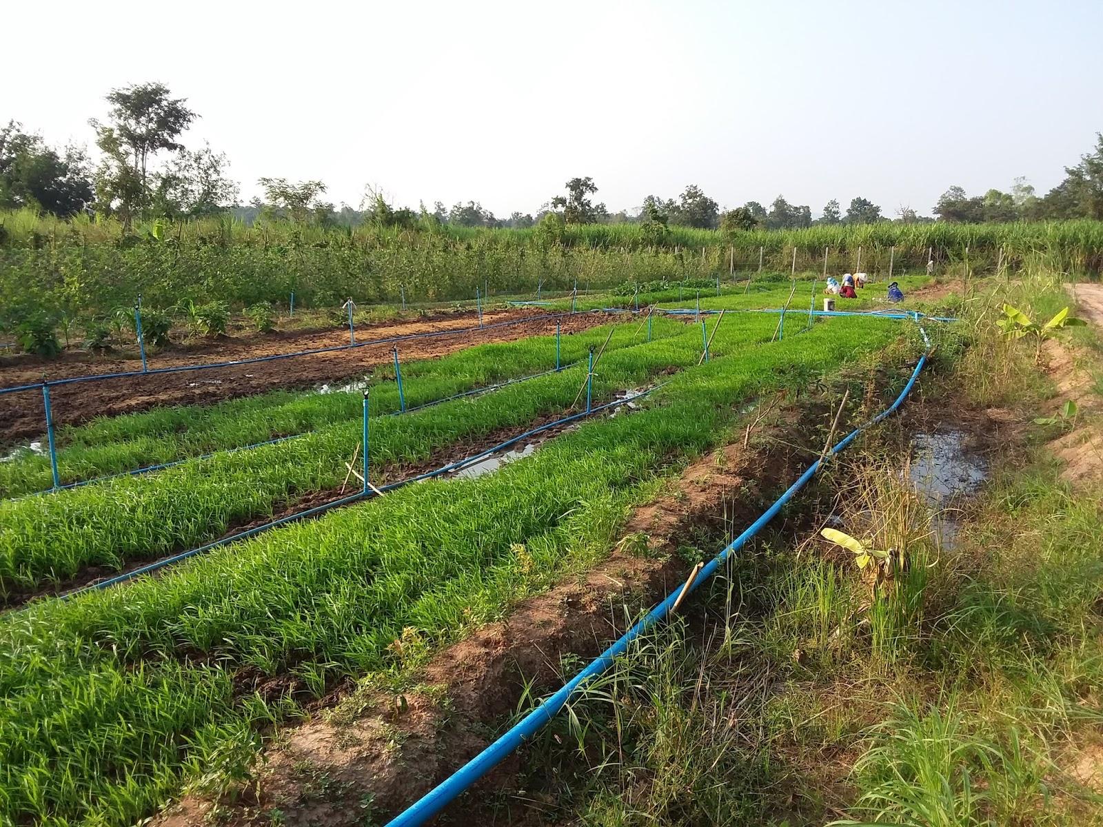 Unser Grösstes Feld Mit Dem Pak Bung (Wasserspinat)   Wir Haben Noch Zwei  Kleinere   Muss Zwar Intensiv Bewässert Werden, Ist Aber Sehr Rentabel.