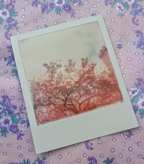 Cherry Blossoms Polaroid Image