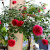 Hoa hồng ngoại Autumn Rouge rose – Hoa hồng Nhật tím đỏ