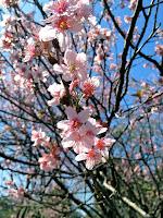 Flor de Cerejeira no Parque do Carmo