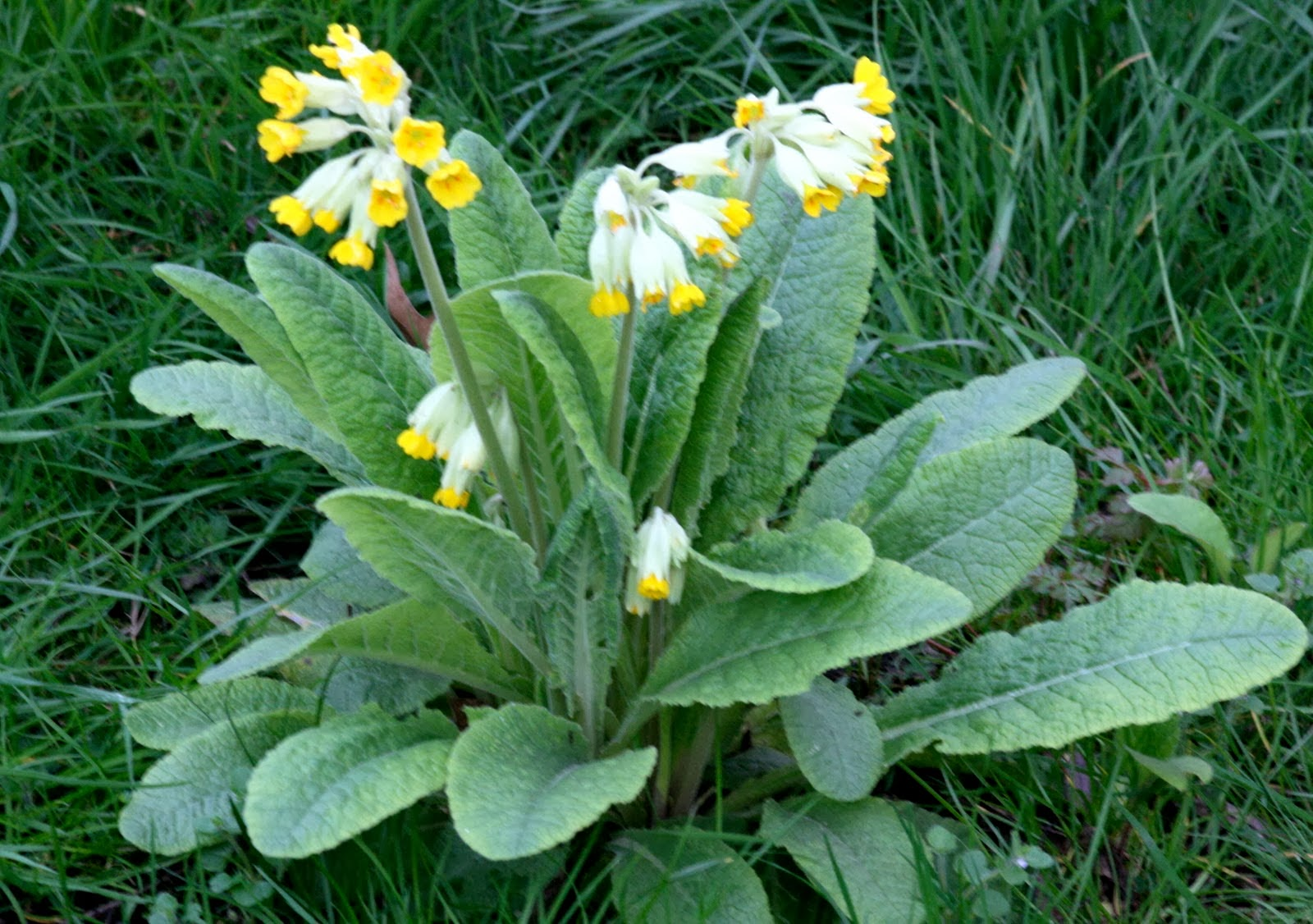 Large polyanthus growing in lawn