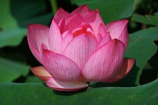 Цветок имени Екатерина лотос