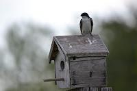 cara membuat rumah burung walet, burung walet, rumah burung walet, sarang walet, rumah walet, walet