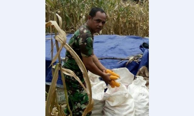 Koptu Poniren, Personil Babinsa Koramil 15/SPS Dampingi Petani Panen Jagung di Sipispis