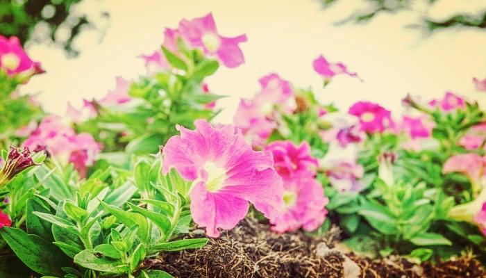 Flores y petunias