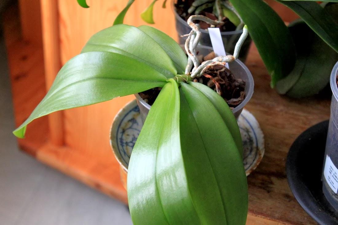 Comment S Occuper D Un Orchidée les orchidées de micha: la culture des orchidées