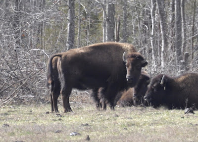 Bison update - waiting for the calves | Buffalo Dan's Bison