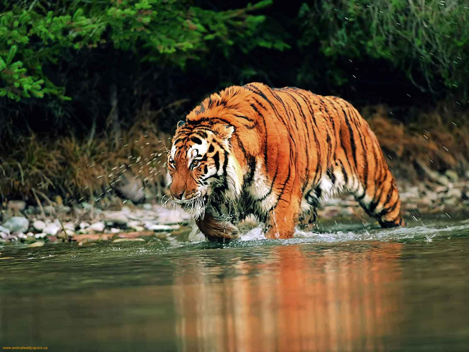 Bengal Tigers Latest Hd WAllpapers 2013