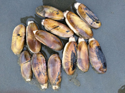 Razor clams inspired researchers in biomimetics to learn how the clams were able to dig so efficiently