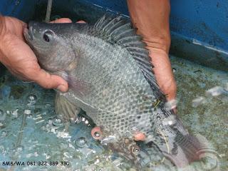Master Essen Ikan Nila Indukan