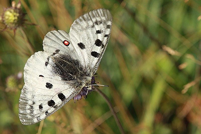 Bolboreta Parnassius apollo