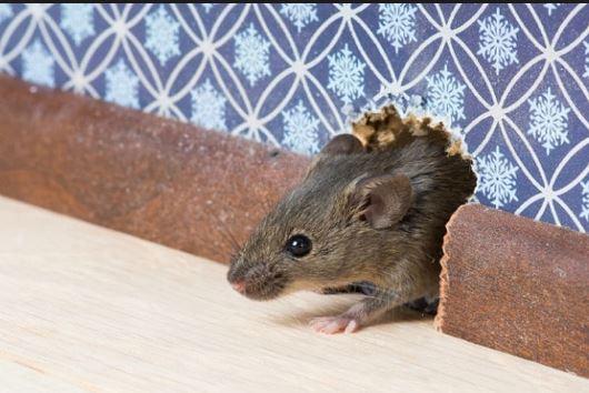 tips agar rumah terhindar dari tikus