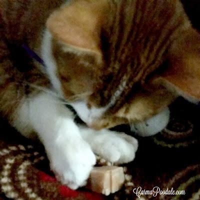 Orange tabby named DaeDae touching the catsicle treat.