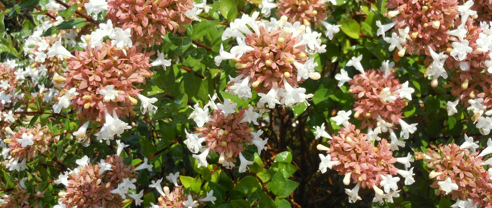 The British Gardener The Tropical Years Damn Good Plants Abelia