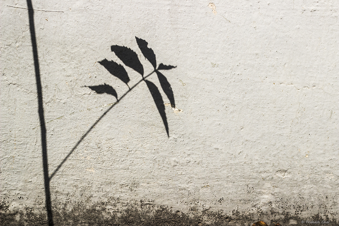 A minimalist photo of the Dark shadow of a plant on a textured Indian wall