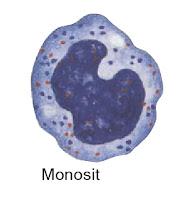 gambar monosit
