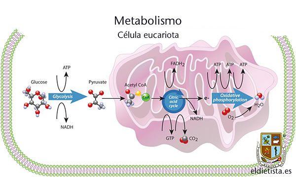 calcular metabolismo basal formula medicina natural