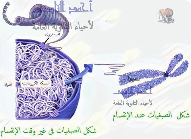 الحمض النووى الريبوزى منقوص الأكسجين dna فى حقيقيات النواة – الصبغيات - الشبكة الكروماتينية