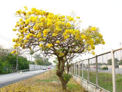 ต้นเหลืองปรีดียาธร, ตาเบบูญ่า