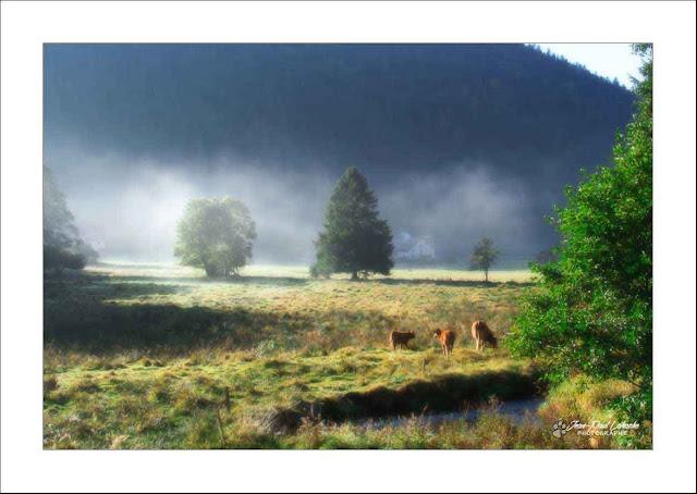 un paysage brumeux avec vaches