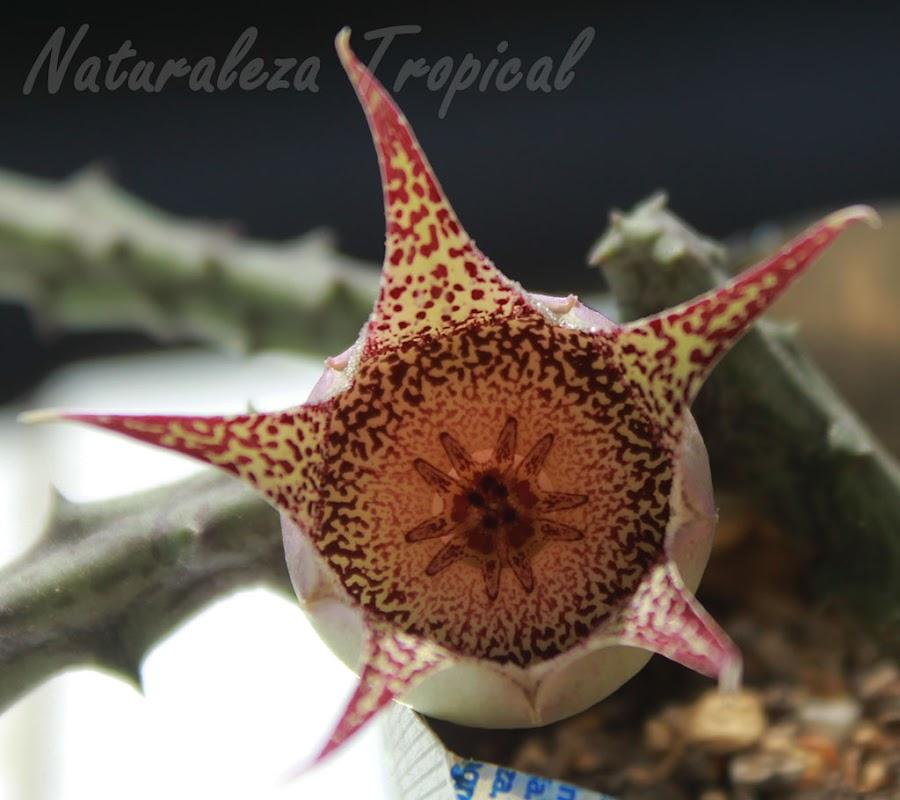Vista superior de la flor de la planta suculenta Orbeanthus hardyi